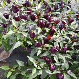 Filus Blue chilli seeds