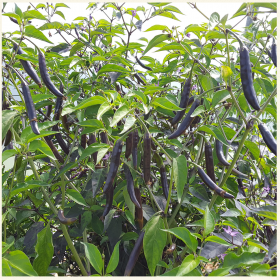 Kali Mirch Chilli Seeds