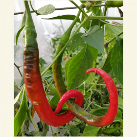 Kung Po Chilli Seeds