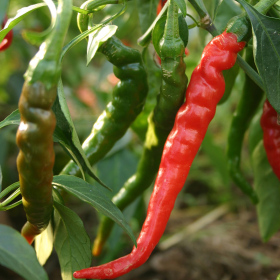 Long-slim cayenne chilli seeds