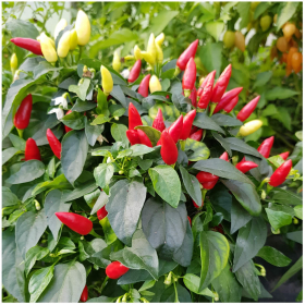 Red Missile Chilli seeds