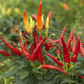 Chilly Chilli seeds