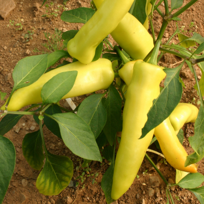 Hungarian Hot Wax chilli seeds