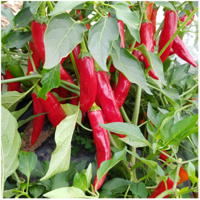 Hungarian Long Chilli Seeds