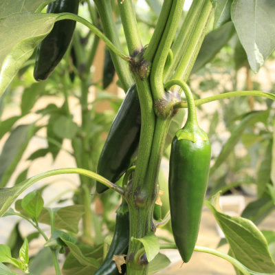 Jalapenos on bush