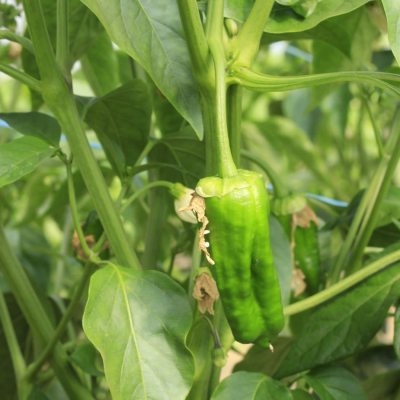 Padron pepper on the plant (just the right size to pick)