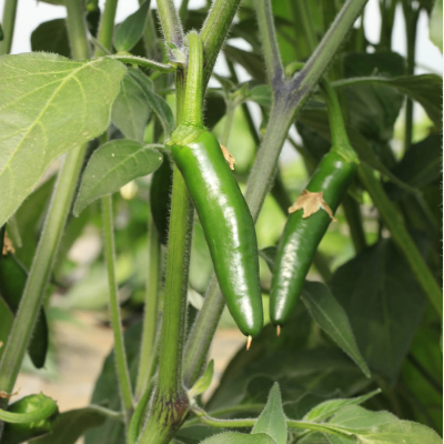 Serrano chillies on the plant (hairy stems and leaves)