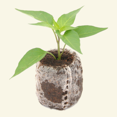 Chilli seedling in coir plug