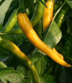 Golden Cayenne Chilli Seeds